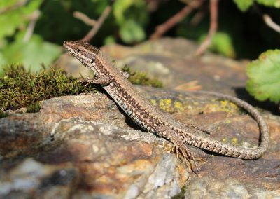Home to famous Ventnor wall lizards