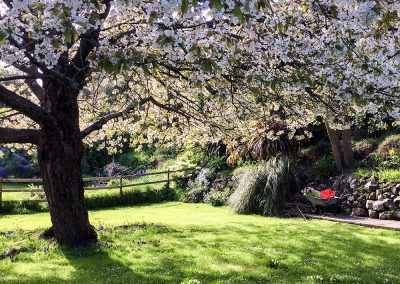 Cherry Tree, May. Petit Tor garden, self catering Isle of Wight