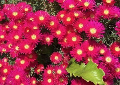 Lampranthus, self catering Isle of Wight